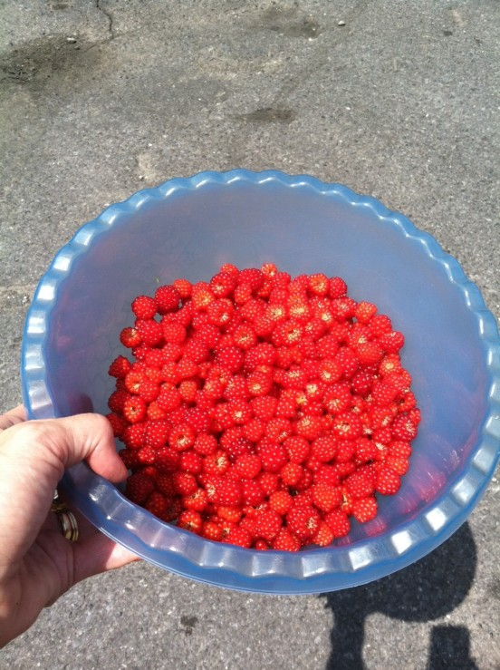 this is day one pickings - two days later I picked twice that amount!