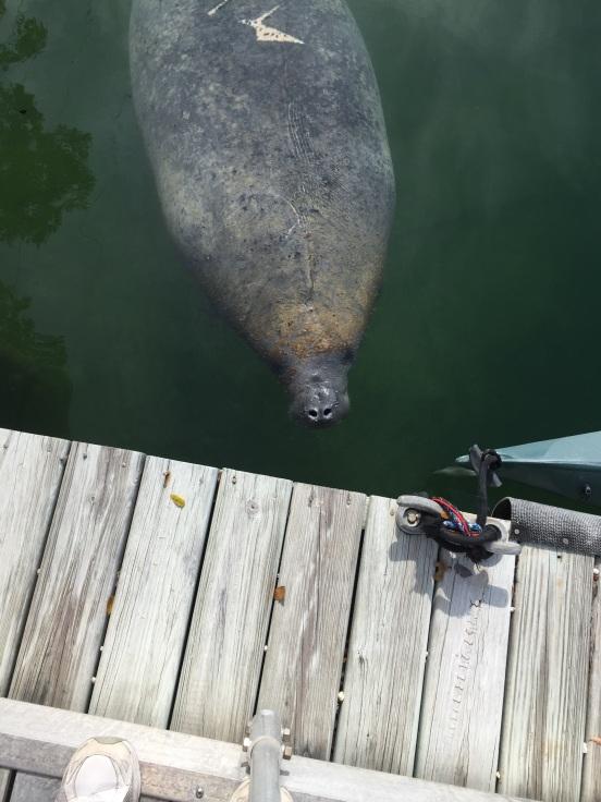 manatee in the marina