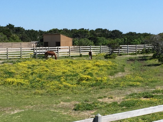 our first stop - the Ocracoke Island ponies