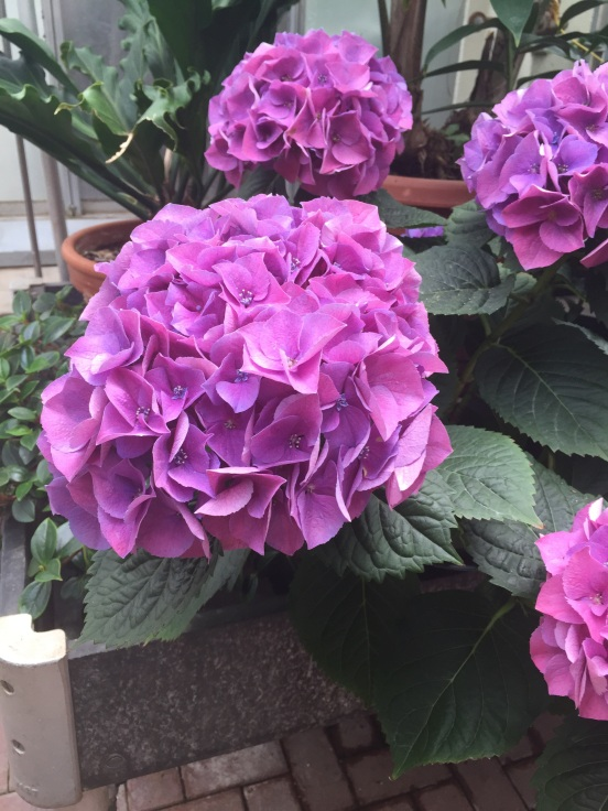 hydrangea is one of my favorites!