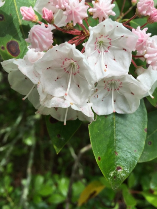 mountain laurel along the path