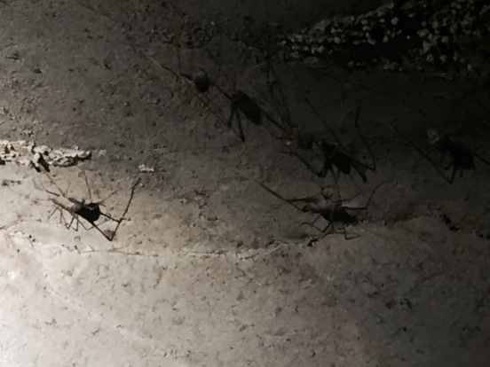 cave crickets - UGH!