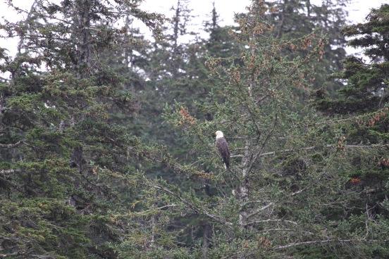 mature bald eagle - pic courtesy of Ben Brilhart